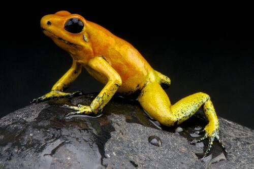 Rana venenosa dorada: información