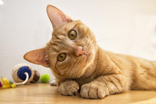Razas de gatos más inteligentes