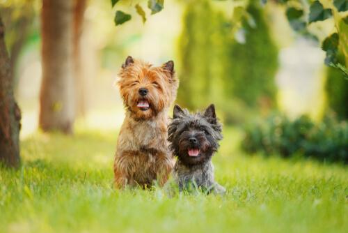Características comunes de los perros terriers