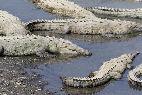 Río Tarcoles de Costa Rica: cocodrilos