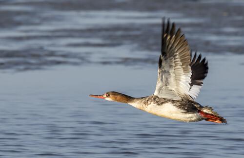 La orientación en el vuelo de las aves