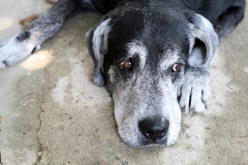 Síndrome de Disfunción Cognitiva en perros