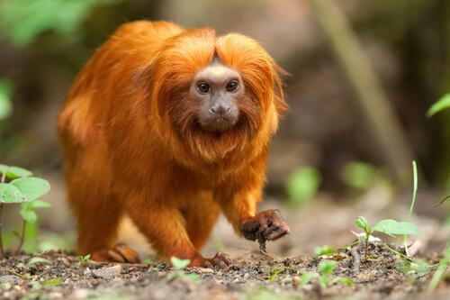 Tamarino león dorado: características