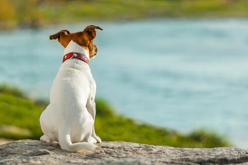Tipos de cola en perros