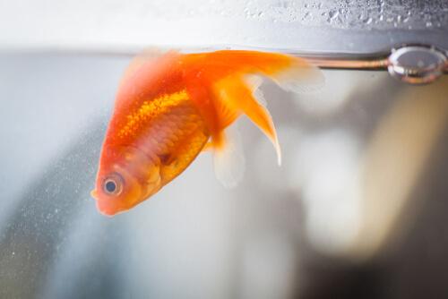 Vejiga natatoria en peces: síntomas