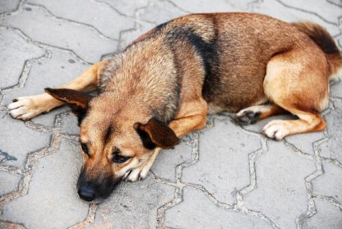 Vómito amarillo en perros: remedios