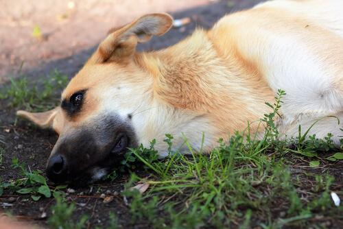 Del piernas perro dolor en y las vómitos