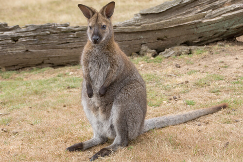Wallabies de Australia