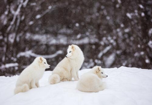 Zorro polar: alimentación