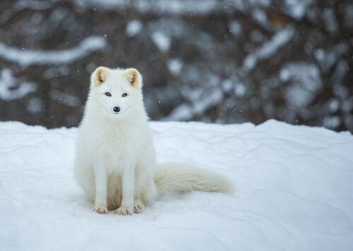 Zorro polar: características