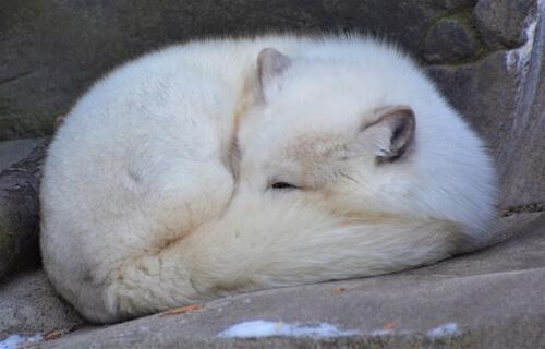 Zorro polar: hábitat