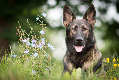 El adiestramiento del pastor alemán, un perro increíble