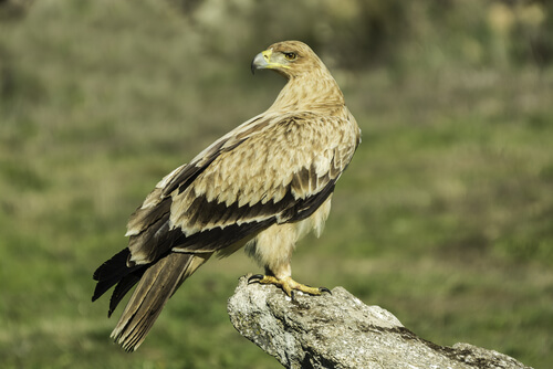 Águila imperial ibérica o Aquila adalberti