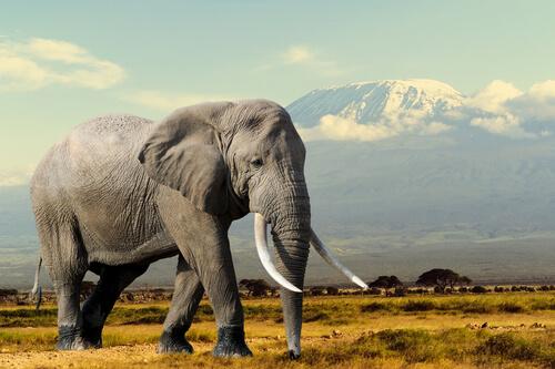 Animales con colmillos: elefante