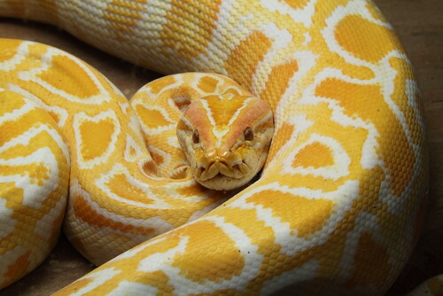 Animales de color amarillo: pitón albina