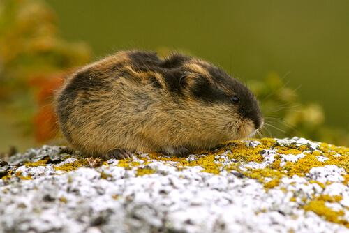 Animales de la tundra: lemming