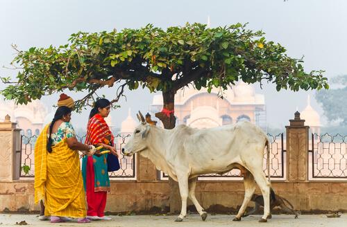 Animales sagrados: vaca