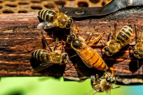 Apareamiento de las abejas