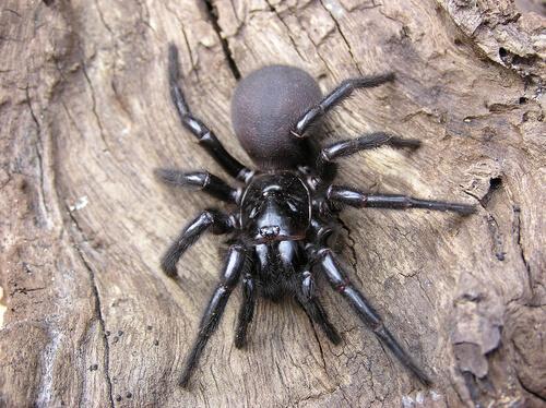 Araña de tela de embudo: picadura