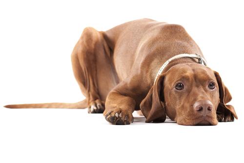 Atrofia testicular en perros