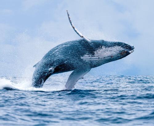 La ballena: hábitat, comportamiento y características