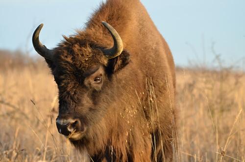 Diferencias entre bisonte, ñu y búfalo