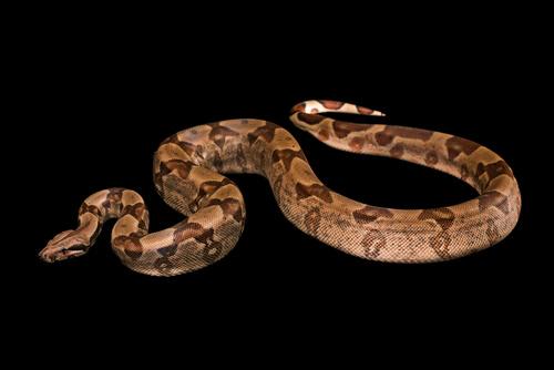 Boa constrictor: comportamiento