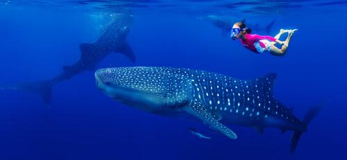 Buceo con el tiburón ballena
