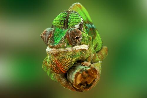 Camaleón en una rama.