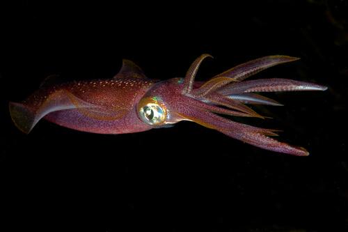 Camuflaje del calamar