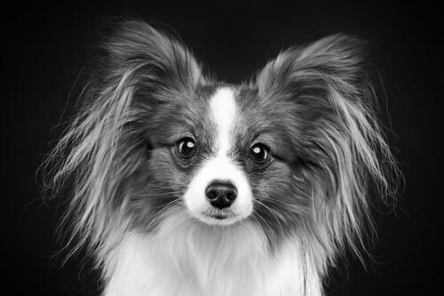 Canas en perros jóvenes