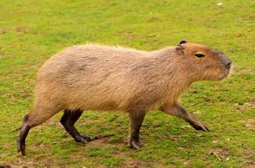 5 animales endémicos de Sudamérica