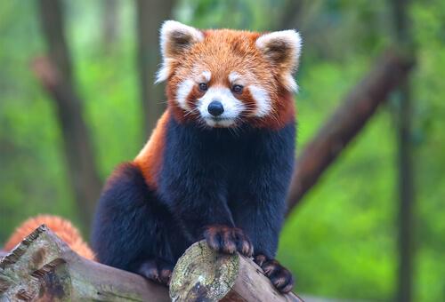 El panda menor: un oso que parece mapache