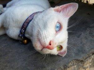 Gato Khao Manee Con Un Ojo De Cada Color Mis Animales