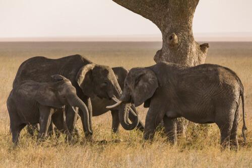 Los cementerios de elefantes, ¿mito o realidad?