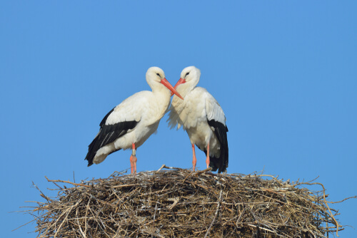 Cigueña: un ave muy maternal