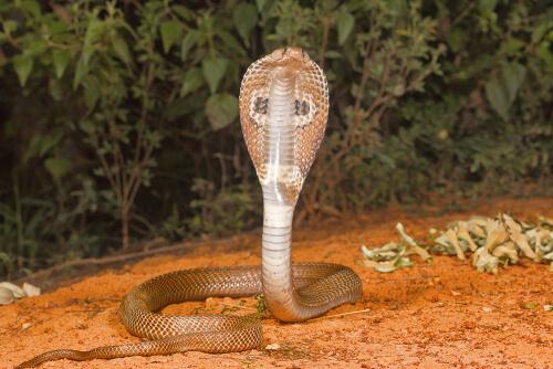 Cobra india o de anteojos