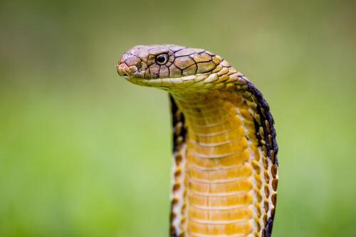 Cobra real: veneno