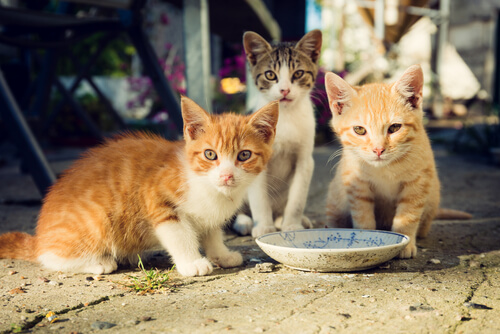 Cómo alimentar una colonia de gatos