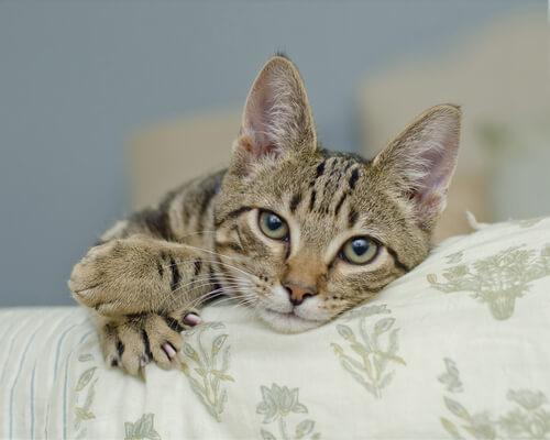 ¿Cómo funcionan las temidas uñas del gato?