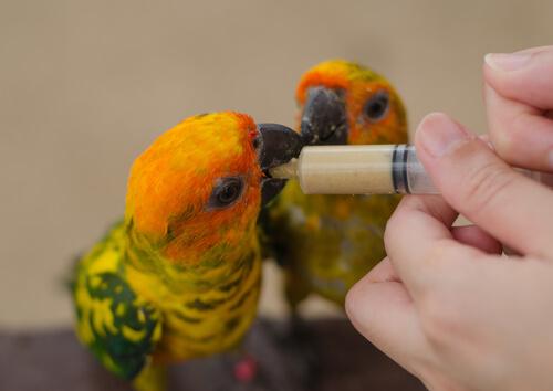 Cómo hacer papilla para pájaros