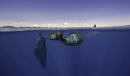 Cómo se comunican las ballenas