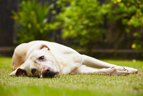 Contagio de tumores entre perros