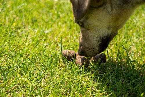 Coprofagia en perros: tratamiento