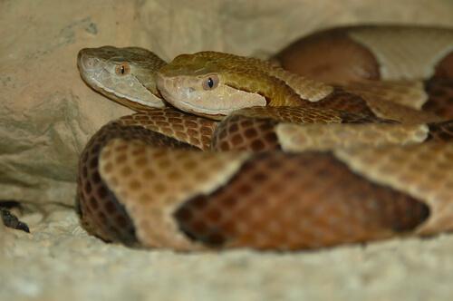 Cópula de serpientes