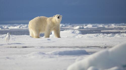Curiosidades de los osos polares