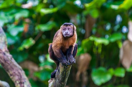Curiosidades del mono capuchino.
