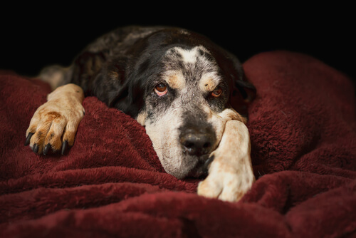 Diarrea en perros viejos