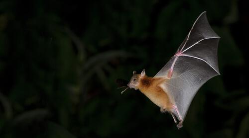 Ecolocalización de los muerciélagos