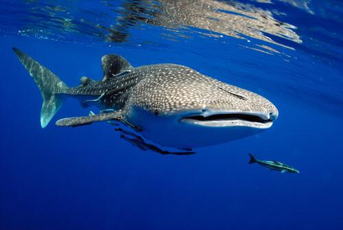 El pez más grande del mundo recorre más de 20 000 kilómetros